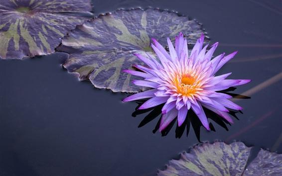 Обои Фиолетовые лепестки водяной лилии, листья