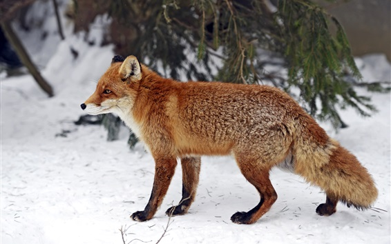Wallpaper Red fox side view, snow, winter