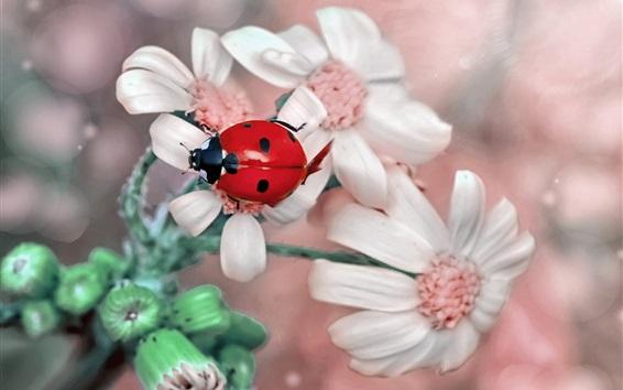 Papéis de Parede Mariquinha vermelha, flores brancas, fotografia macro