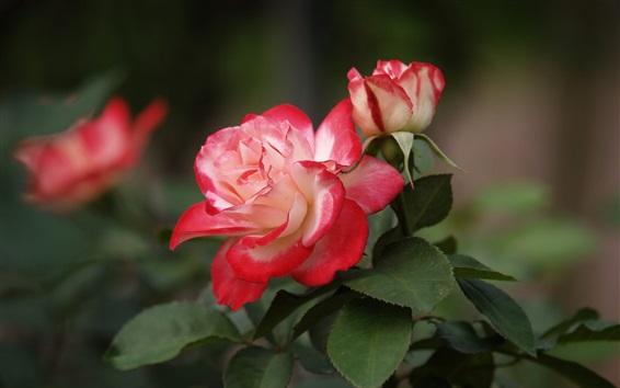 Fondos de pantalla Pétalos rojos rosas, hojas