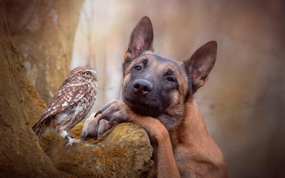 Wallpaper Shepherd dog and owl, friends