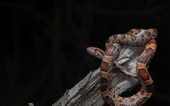 Wallpaper Snake Viper Black Background 1920x1200 Hd