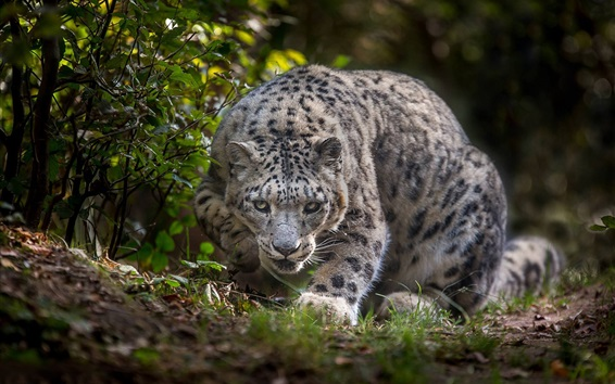 Papéis de Parede Leopardo da neve, olha, grama