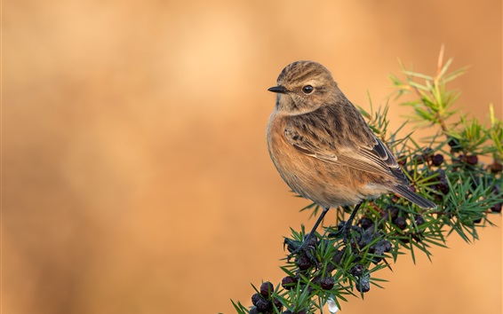 Wallpaper Sparrow, birds, branch