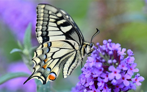 Wallpaper Swallowtail butterfly, little purple flowers