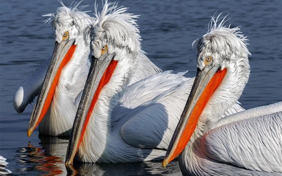 Papéis de Parede Três pelicanos, água