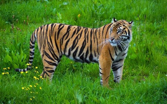 Papéis de Parede Tigre olha para trás, grama verde