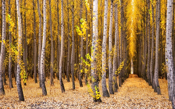 Wallpaper Trees, birch, forest, yellow leaves, autumn