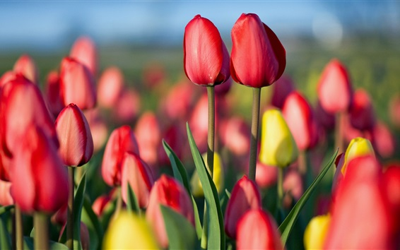 Wallpaper Tulips field, red and yellow flowers