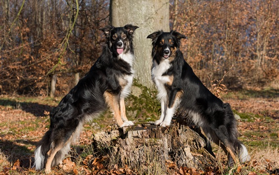 Wallpaper Two dogs, border collie, stump, trees