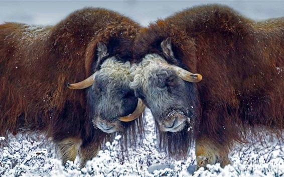 Wallpaper USA, Alaska, musk ox, horns, snow