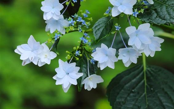 Обои Белые цветы, гортензия, листья