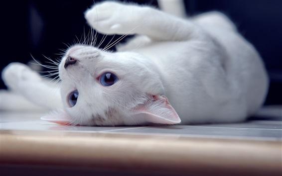 Fond d'écran Chaton blanc, yeux bleus, espiègle