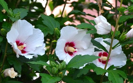 Papéis de Parede Flor de hibisco de pétalas brancas