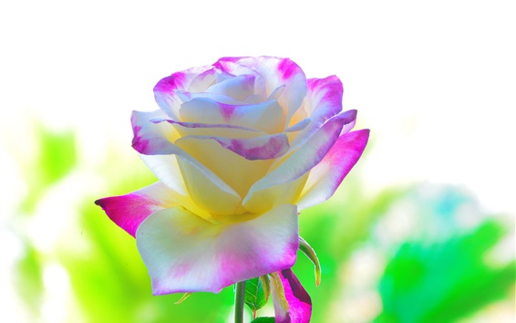 Wallpaper White pink petals rose flower