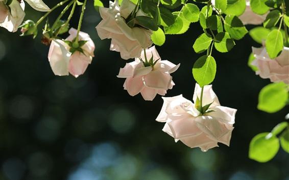 Wallpaper White roses, tenderness, green leaves