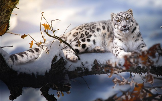 Wallpaper White tiger, tree, snow