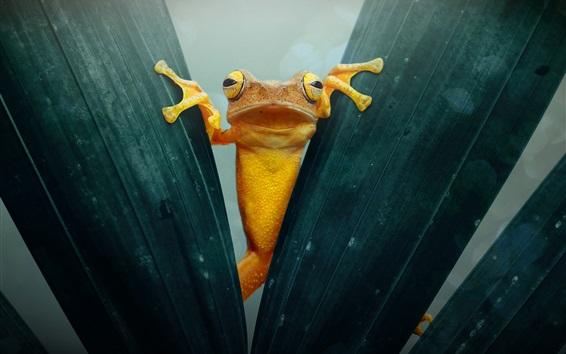 Wallpaper Yellow frog, foliage