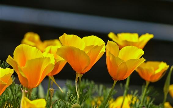 Papéis de Parede Papoulas amarelas, primavera, flores