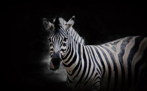 Wallpaper Zebra, black background