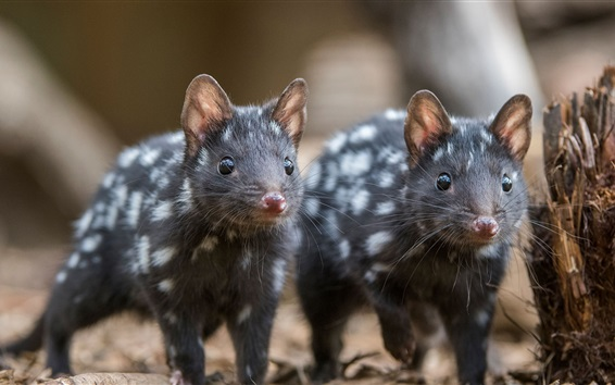 Обои Австралия, млекопитающие, пятнистая сумчатая куница