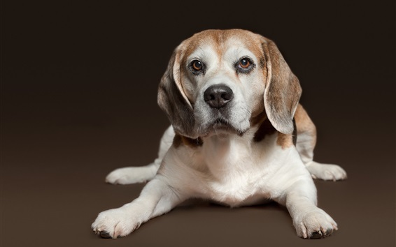 Wallpaper Beagle, dog, rest, front view