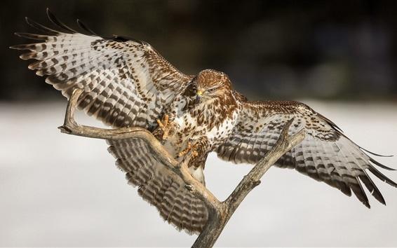 Papéis de Parede Pássaro, falcão, asas, galhos