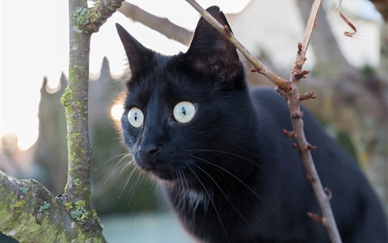 Wallpaper Black cat, look, eyes, twigs