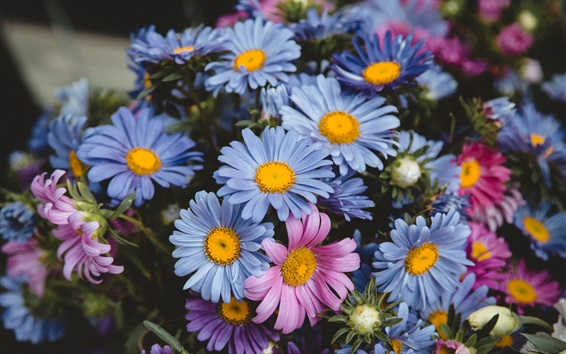 Wallpaper Blue and pink flowers, daisy