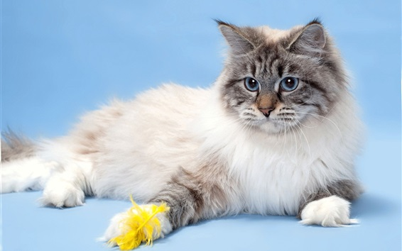 Papéis de Parede Olhos azuis gato, animal de estimação peludo