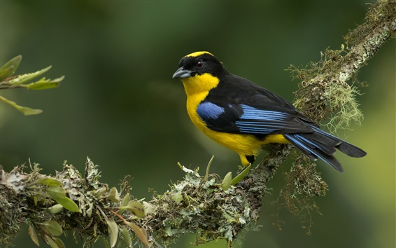 Wallpaper Blue-winged mountain-tanager