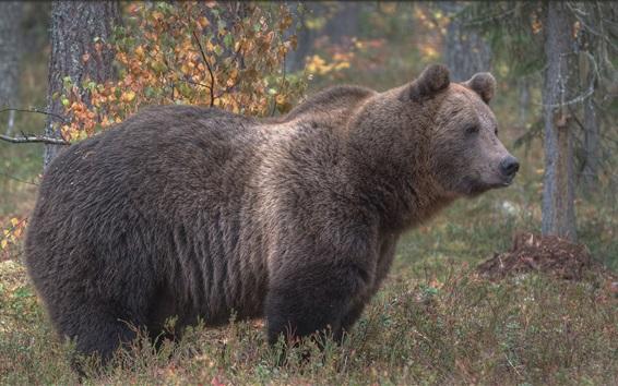 Papéis de Parede Urso pardo vista lateral, grama, árvores