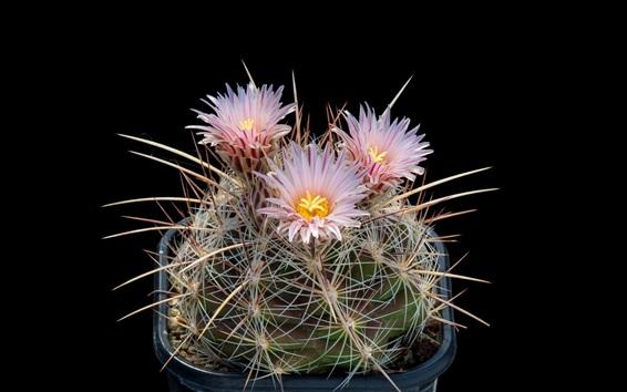Wallpaper Cactus, pink flowers bloom, needles