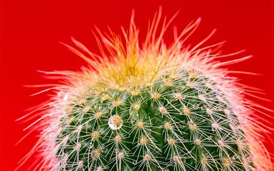 Hintergrundbilder Kaktus, Wassertropfen, Nadeln, roter Hintergrund