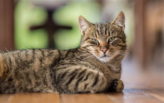 Wallpaper Cat side view, rest, eyes