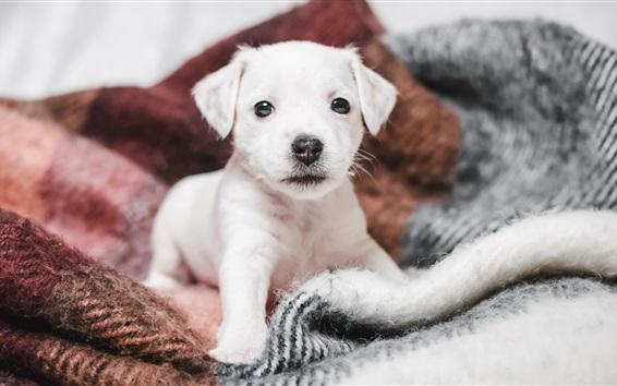 Wallpaper Cute white puppy, blanket