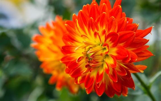 Fondos de pantalla Dahlia floración, pétalos de color amarillo-rojo