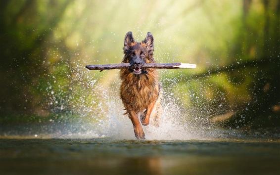 Papéis de Parede Cachorro pegar pau correndo na água