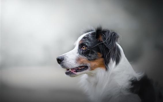 Wallpaper Dog side view, furry, bokeh