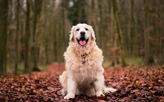 Wallpaper Dog sit on ground, red leaves, autumn