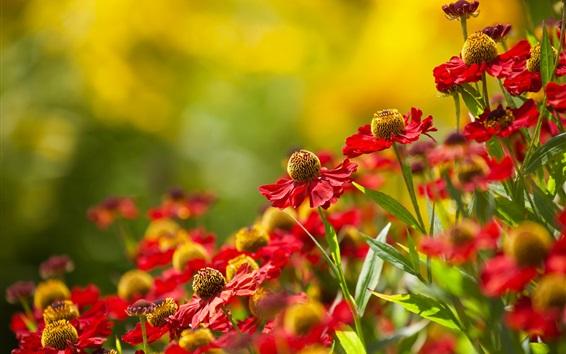 Обои Эхинацея, красные цветы