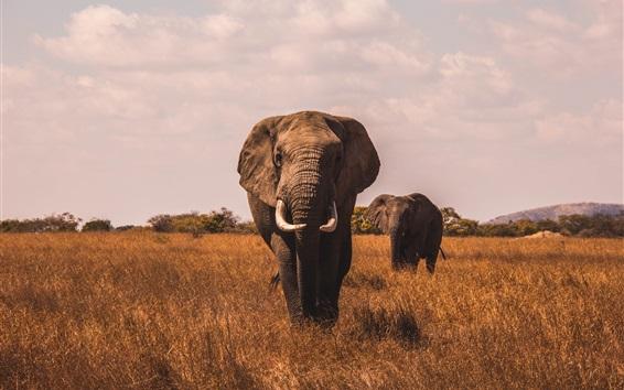 Fond d'écran Éléphants, vue de face, herbe
