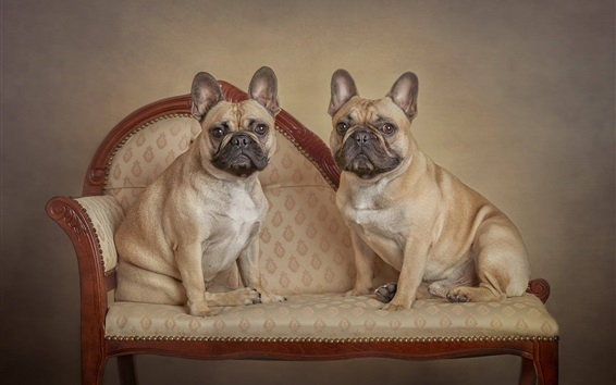 Wallpaper French bulldog, two dogs stand on chair