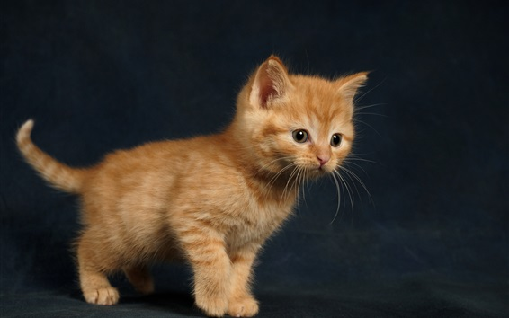 Wallpaper Furry brown kitten