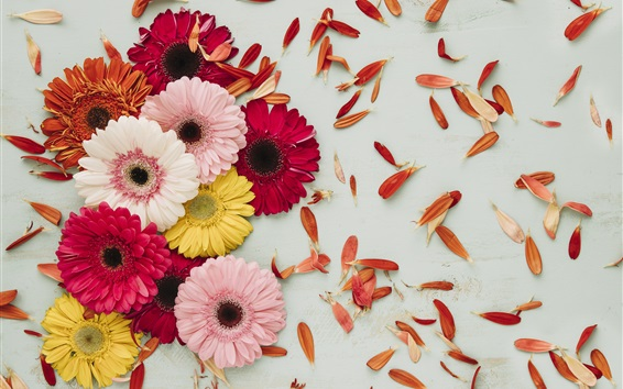 Wallpaper Gerbera, pink, red, yellow, white flowers, petals