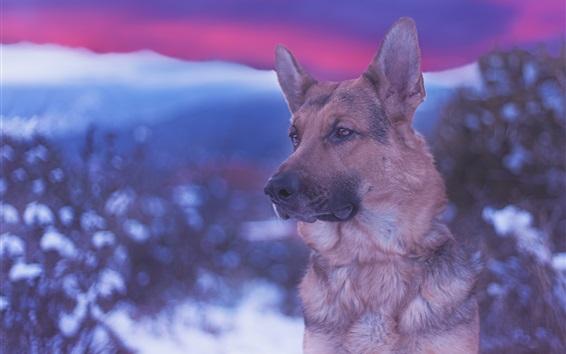 Wallpaper German shepherd, face, blurry background