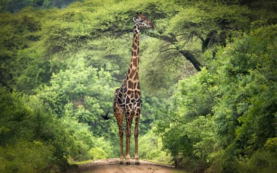 Papéis de Parede Girafa, árvores, áfrica