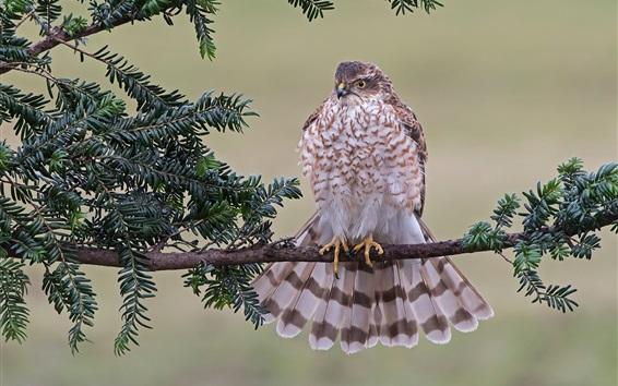 Papéis de Parede Falcão, sparrowhawk, penas, árvore, folhas