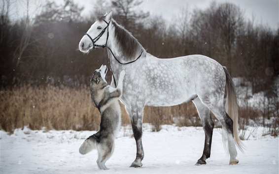 Wallpaper Husky dog and white horse, friendship, snow, winter