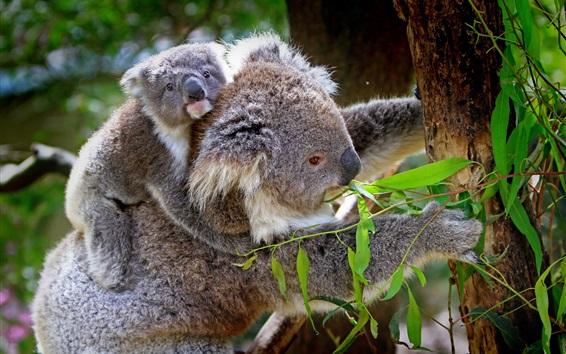 Wallpaper Koala, cub, tree